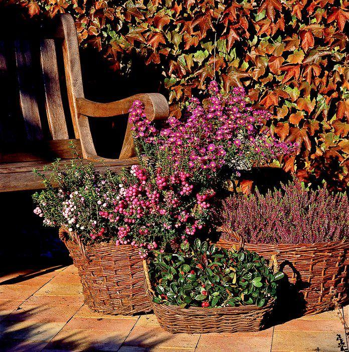 Herbst Pflanzen Und Deko Fur Balkon Und Terrasse Pflanzideen Pflanzen Herbstblumen