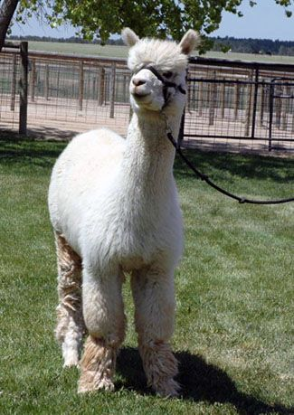 Highlights for May! Snowmass Infinit Victory! One of WTR Alpacas Champion Herd Sires!  www.wtralpacas.com