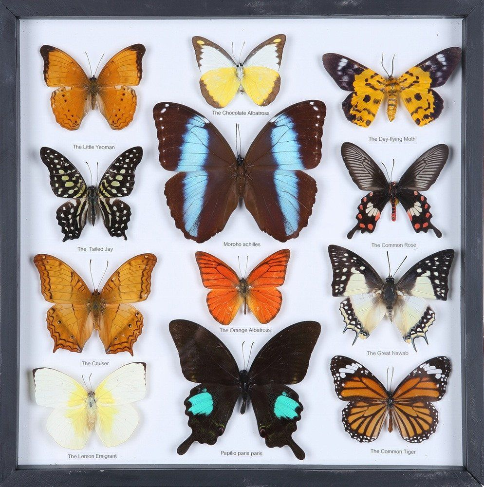 entomology framed butterflies butterfly collection taxidermy frame 11 f024