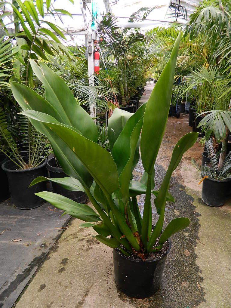 Philodendron Cannifolium Aroids Rainforest Plants