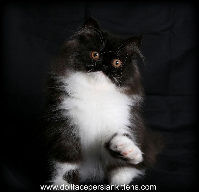 Black White Doll Face Persian Kitten Persian Cat Doll Face