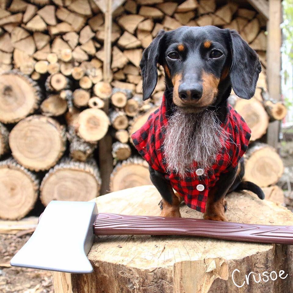 Crusoe 2017 Weenie Dogs Crusoe The Celebrity Dachshund