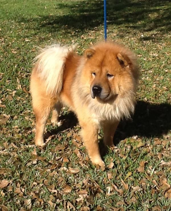 Adopt Cactus On Chow Chow Dogs Dogs Adoption