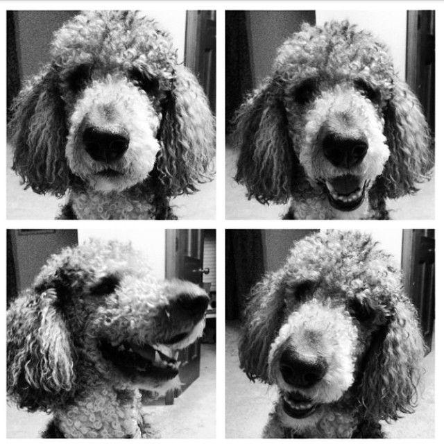 Just Bein Adorable Happy National Dog Day Standardpoodle