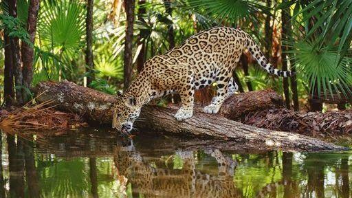 Amazon Rainforest Animals Amazon Rainforest Animals The Jaguar