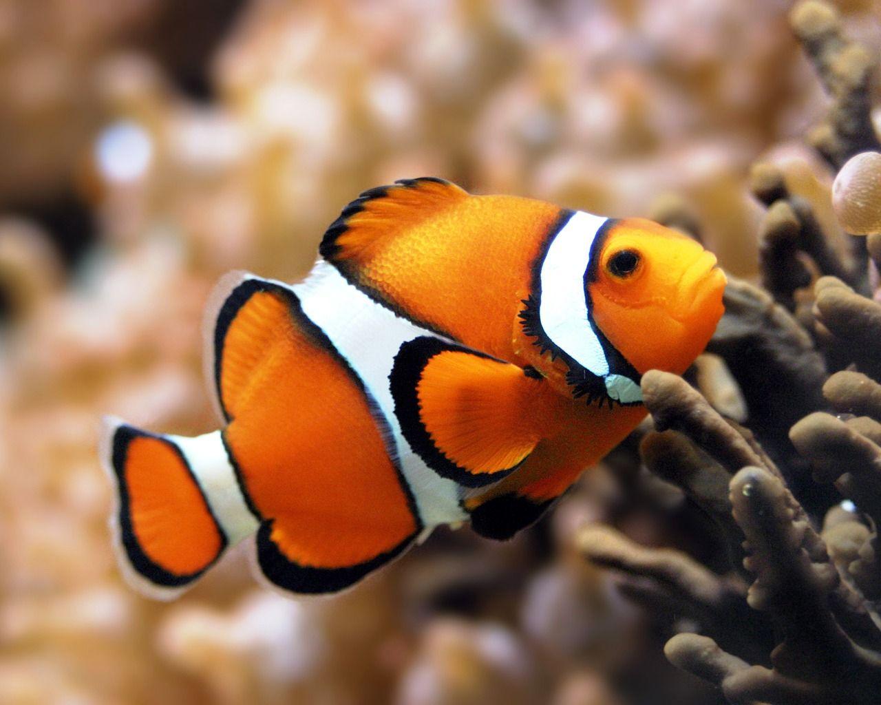 Fish Bing Images Clown fish, Marine fish, Beautiful fish