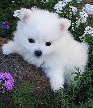 American Eskimo Dog Toy Miniature Standard Price