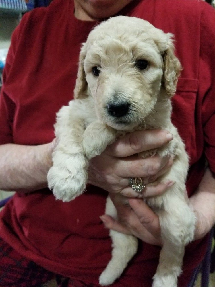 Lucy Standard Poodle Puppy Poodle Puppies Hockey Gifts