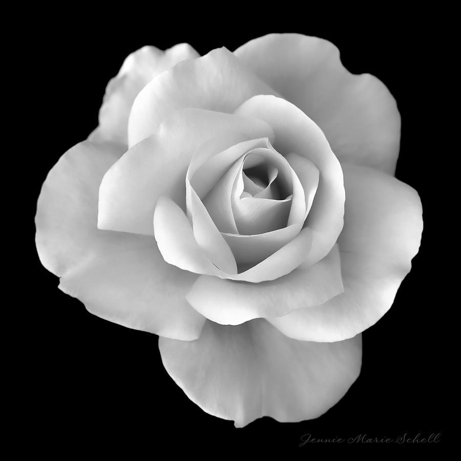White rose flower in black and white photograph flower pinterest white rose flower in black and white photograph mightylinksfo