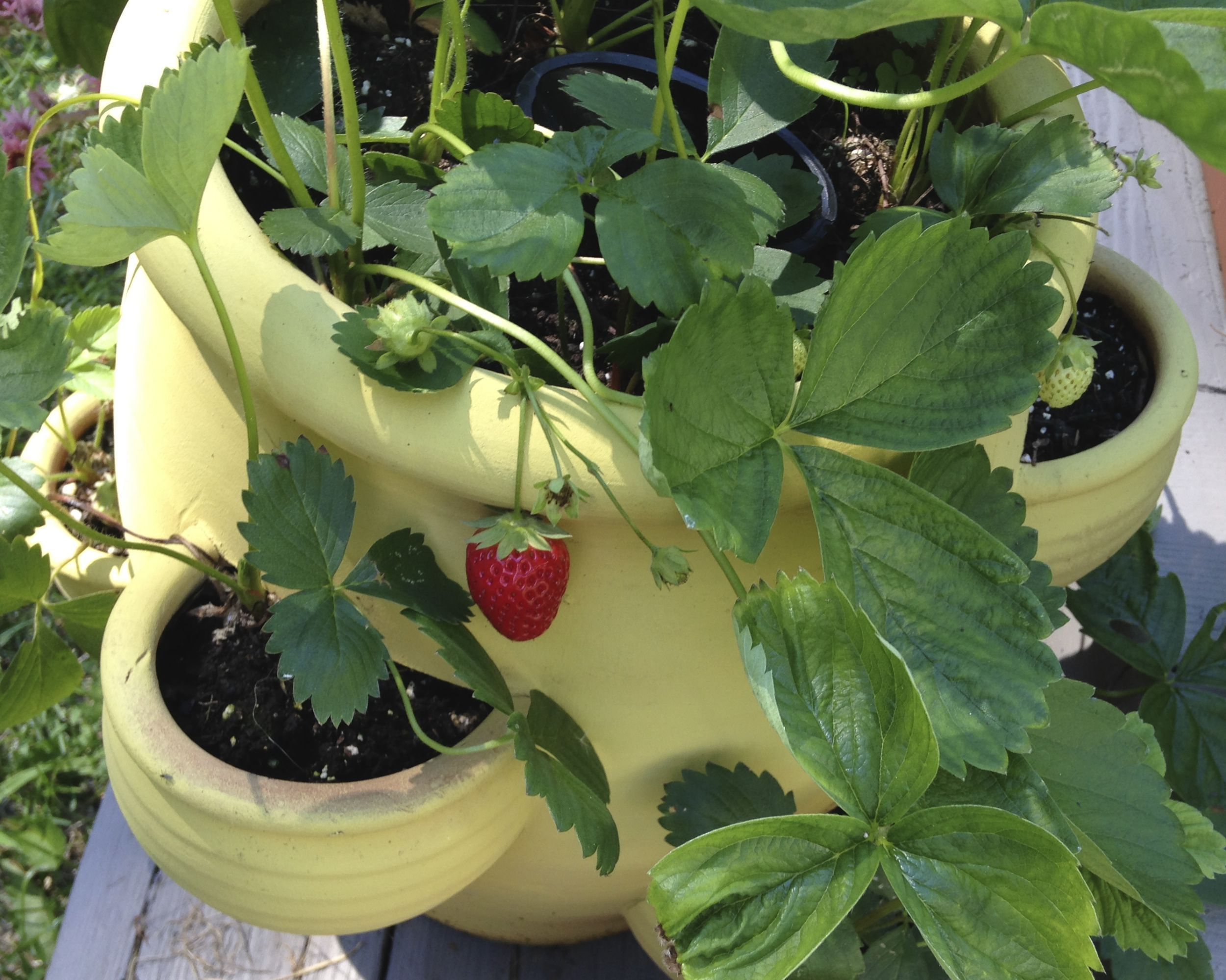 How to grow beautiful and tasty strawberries in pots. #growingstrawberriesincontainers Growing strawberries in pots are easy. Growing strawberries in container gardens can also be beautiful, and you should consider the possibilities. #growingstrawberriesincontainers How to grow beautiful and tasty strawberries in pots. #growingstrawberriesincontainers Growing strawberries in pots are easy. Growing strawberries in container gardens can also be beautiful, and you should consider the possibilities. #growingstrawberriesincontainers