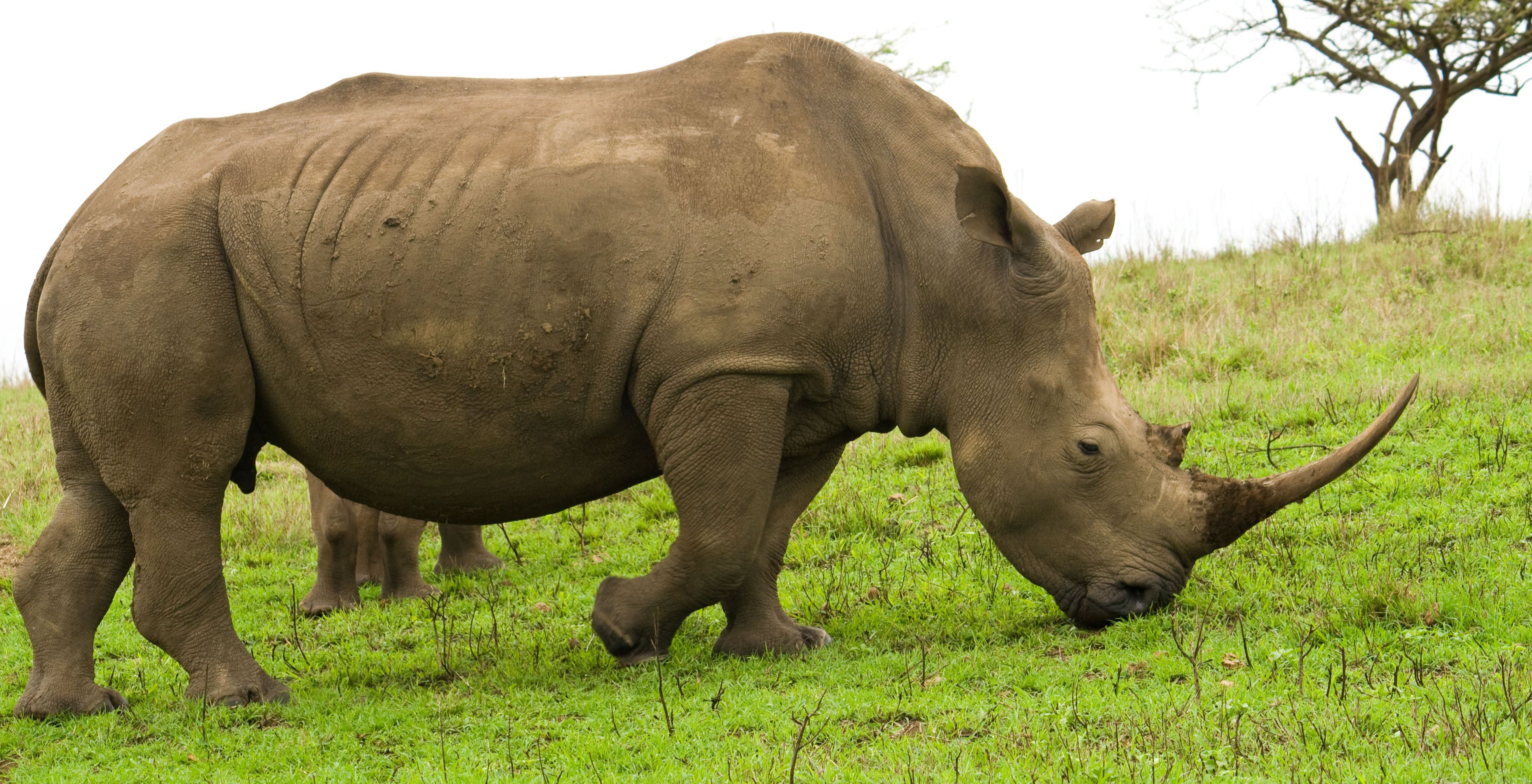 Rhinoceroses Are Large Herbivorous Mammals Identified By Their Characteristic Horned Snouts The Word Rhinoceros Herbivorous Animals Animals African Wildlife