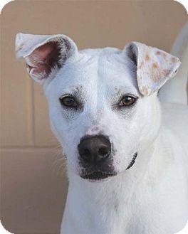 San Antonio Tx Labrador Retriever Mix Meet Miles A Dog For Adoption Http Www Adoptapet Com Pet 16982653 San Kitten Adoption Labrador Retriever Mix Pets