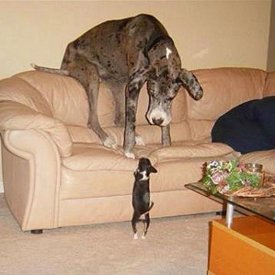 We just got a Dane and kid you not, this is EXACTLY how he is: completely terrified of everything!  Isn't this the best!