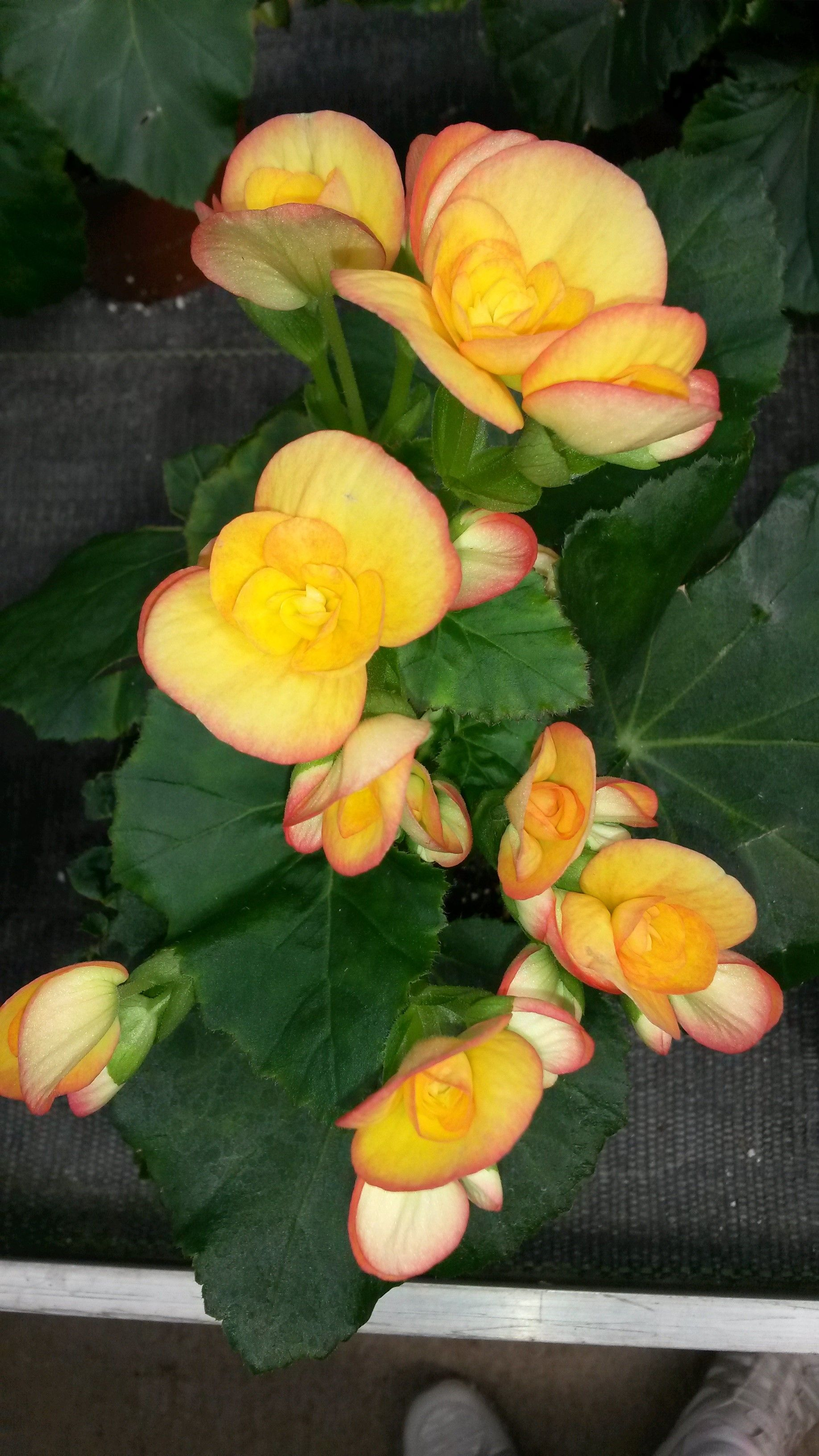 Rieger Begonia Variety Karen Grown At G E Greenhouses Inc