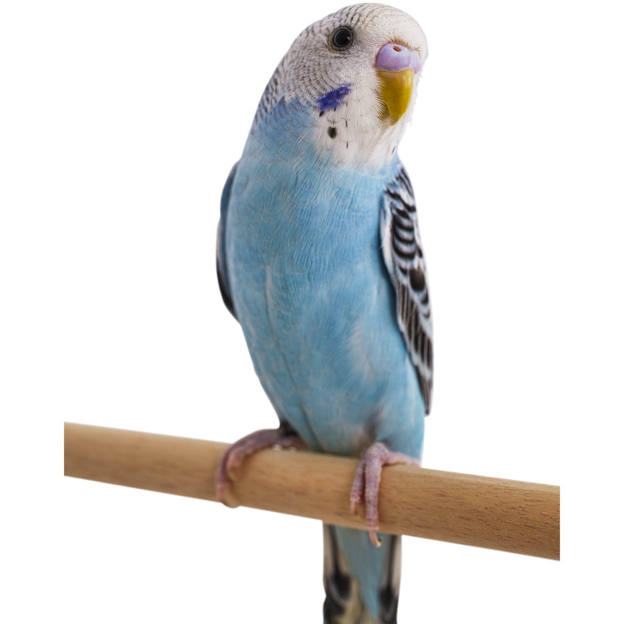 27 HQ Quality Cute Parakeet Photos   Animals   Blue parakeet