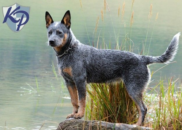 Blue Heeler Puppies For Sale Herding Dogs Australian Cattle Dog
