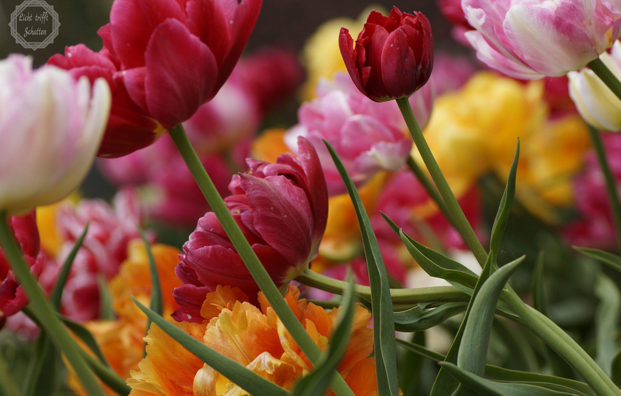 tulpen tulpen und nochmals tulpen www.licht-trifft-schatten.de, Gartengerate ideen