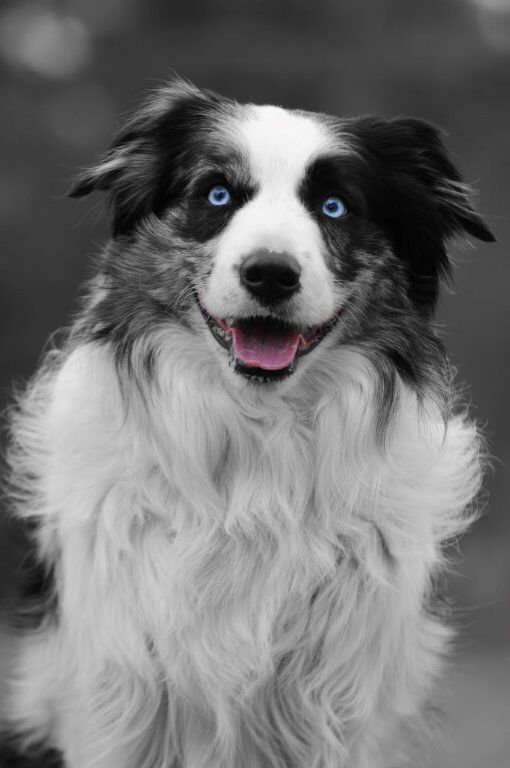 Blue Merle Border Collie In Black And White With A Few Coloured