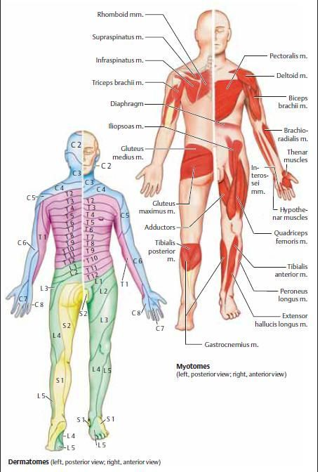 dermatomes and myotomes - Google Search Anatomia Physical