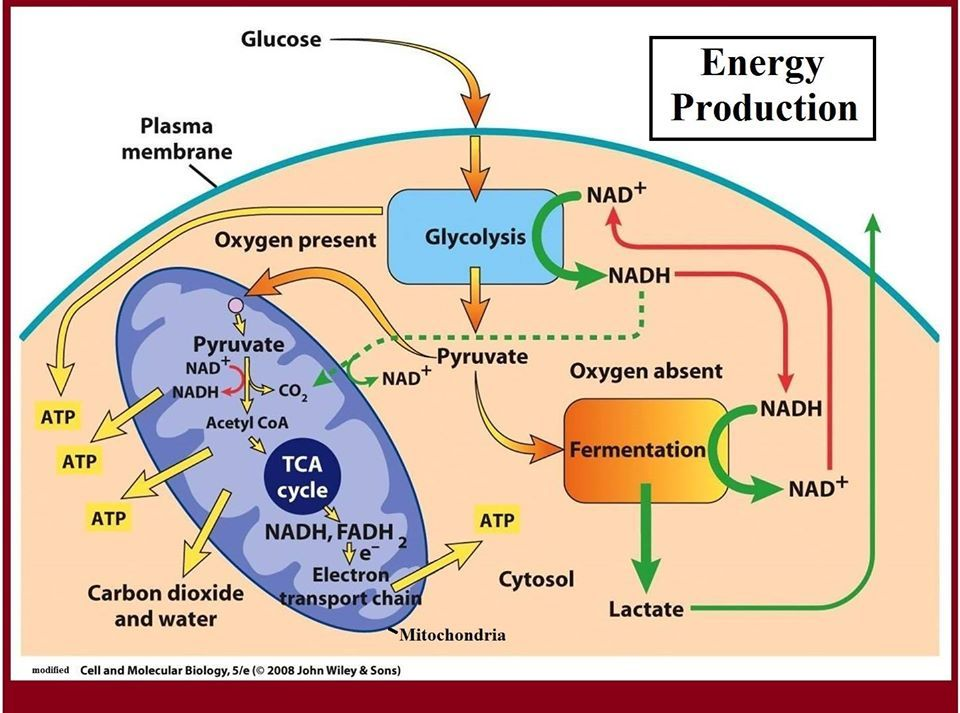 Cellular Respiration Cellular Respiration Biochemistry Photosynthesis And Cellular Respiration