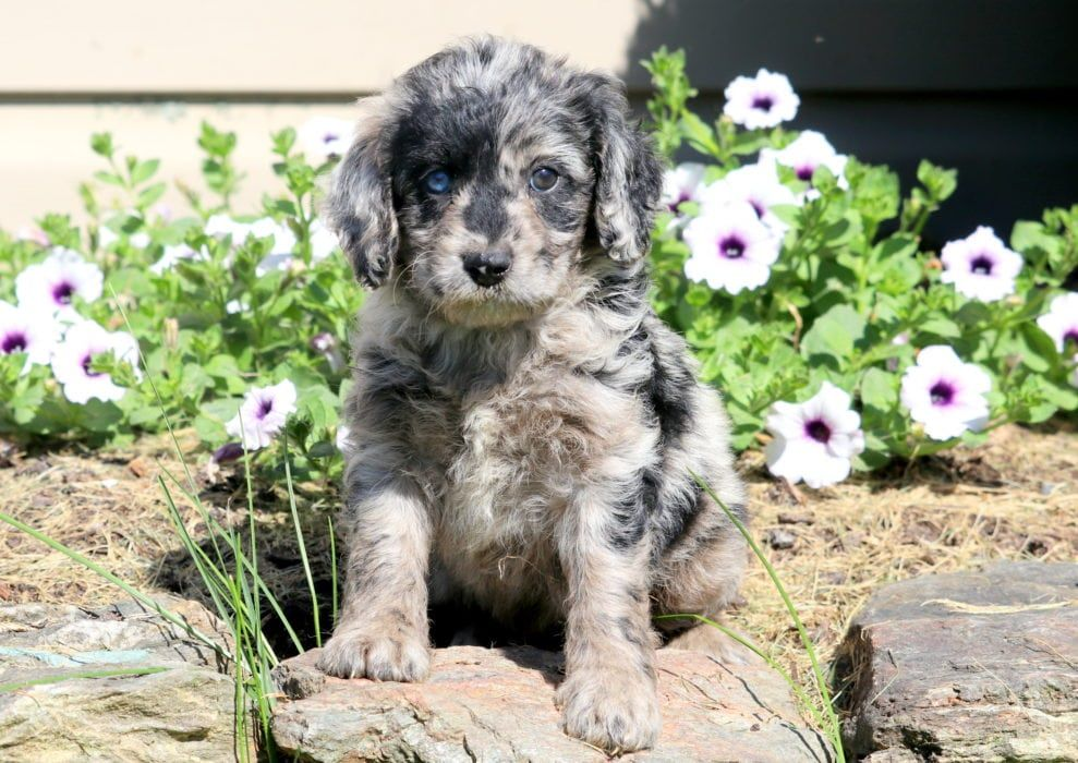 Serenity Goldendoodle Miniature Puppy For Sale Keystone Puppies Puppies Cockapoo Puppies Miniature Puppies