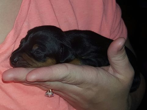 Miniature Pinscher Puppy For Sale In Linton In Adn 26325 On