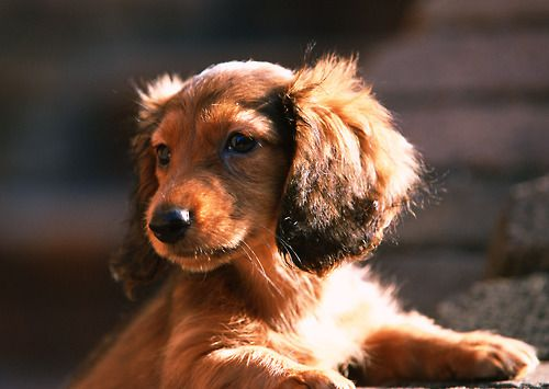 Pin By Amanda On Daschies One Day Gertie Dachshund Puppies
