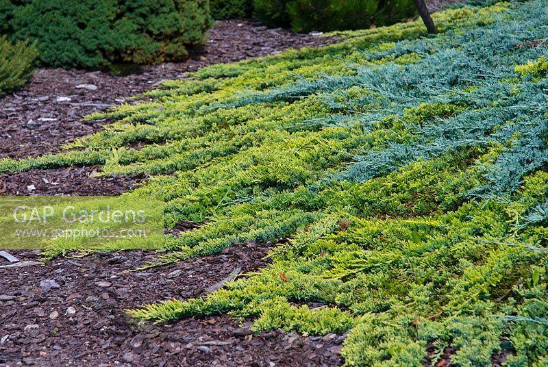 Green Carpet sempre verde Kriechwacholder piantare Juniperus COMM