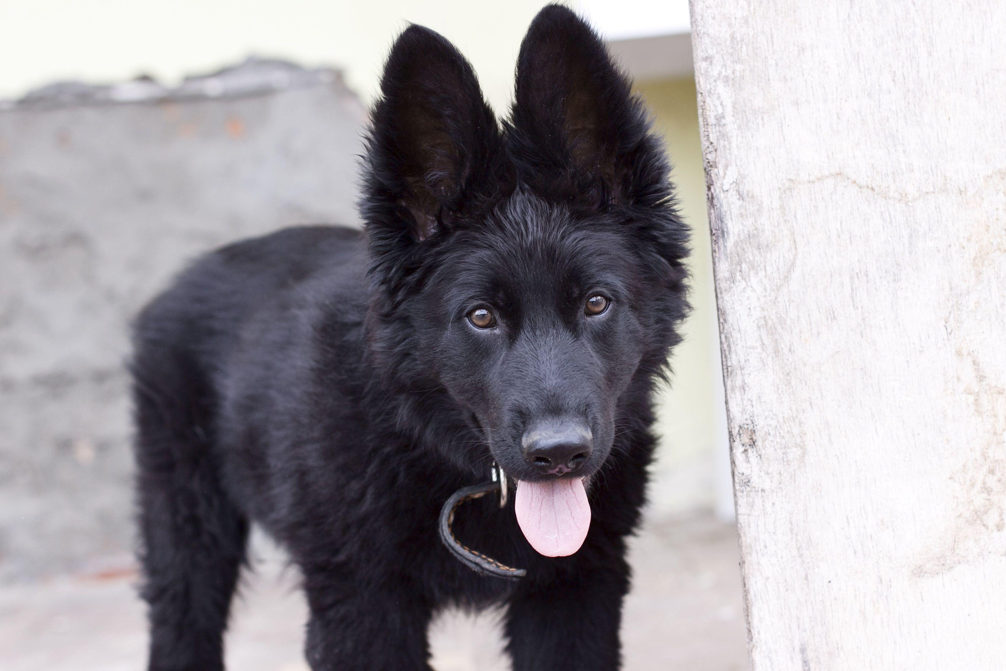 Free Images View Puppy Pet Portrait German Shepherd Black