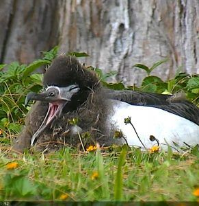 Cornell Lab Bird Cams   Wonderful Laysan Albatross bird cam     Cornell Lab Bird Cams   Wonderful Laysan Albatross bird cam    amazing birds