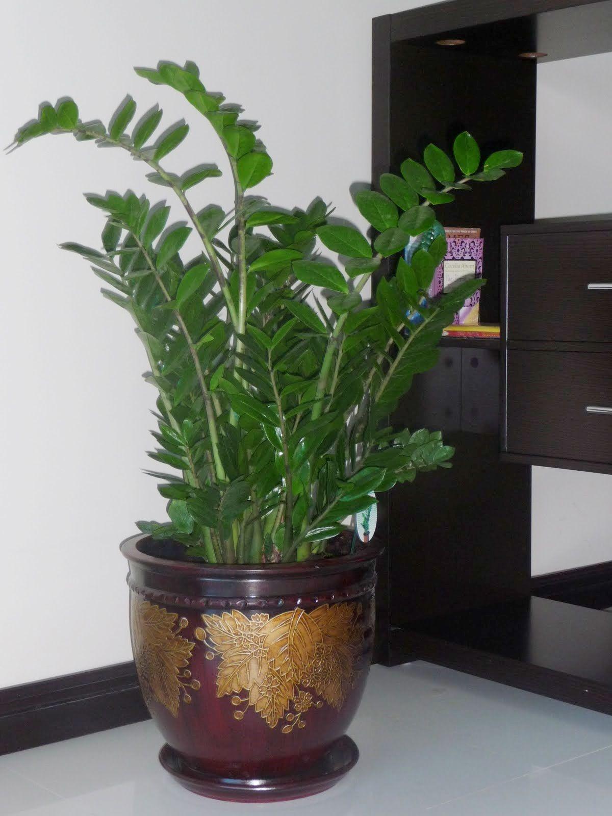 Zamioculcas (Zz) Plant Zz Plantindoor Plantshouse