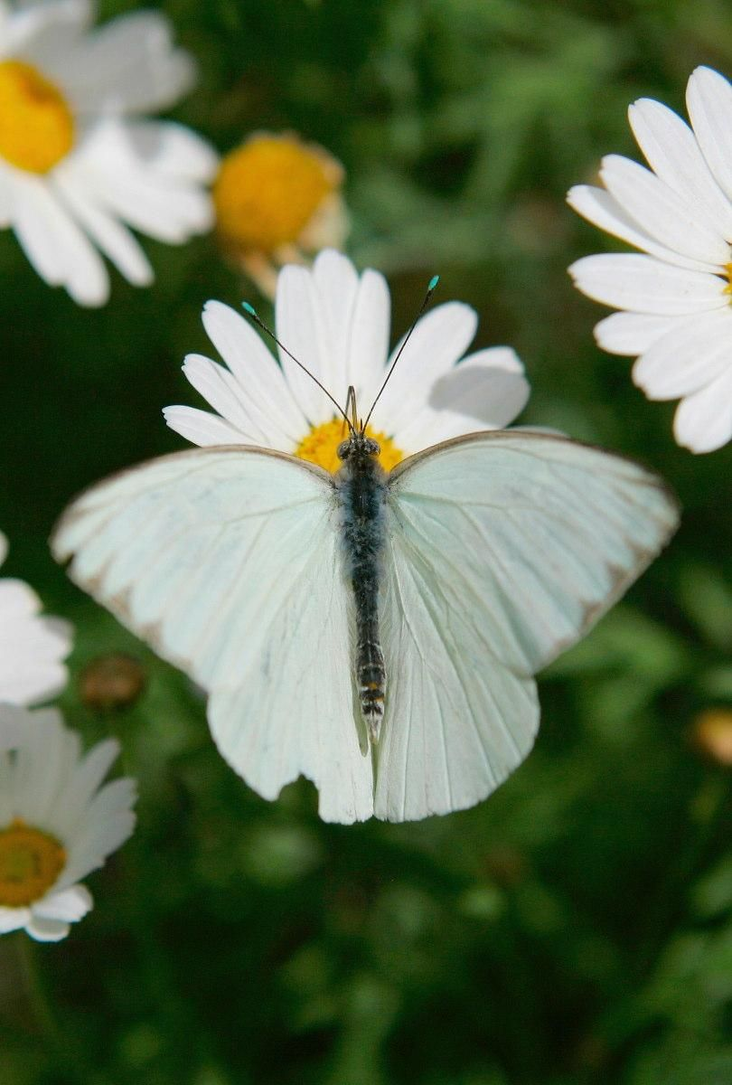 Daisies Beautiful White Butterfly Two Of My Favorite Things Edible Frog Butterfly Beautiful Butterflies