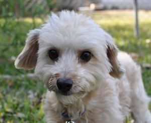 Adopt Liam On Dog Friends Poodle Mix Dogs Poodle Dog