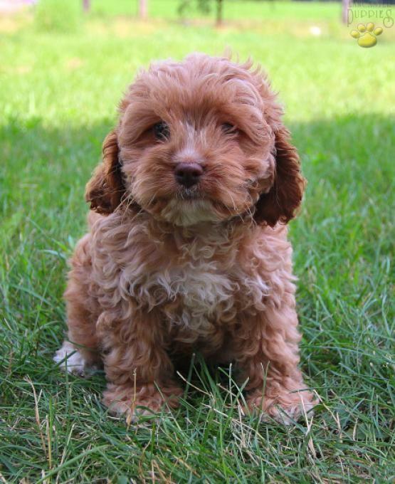 Heidi Cockapoo Puppy for Sale in LaGrange, IN