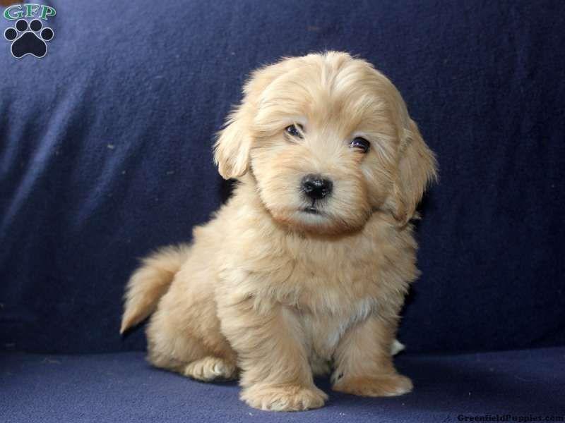 Ellis Havapoo Puppy For Sale From Lititz Pa Breeder David Stoltzfus Havapoo Puppies Pets Puppies