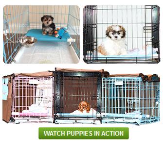 How do I potty train a yorkie puppy, Potty training, dog