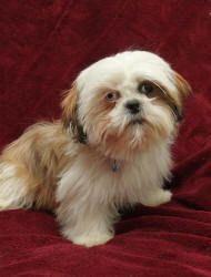 Leo Is An Adoptable Shih Tzu Dog In Wichita Ks Leo Is A Special