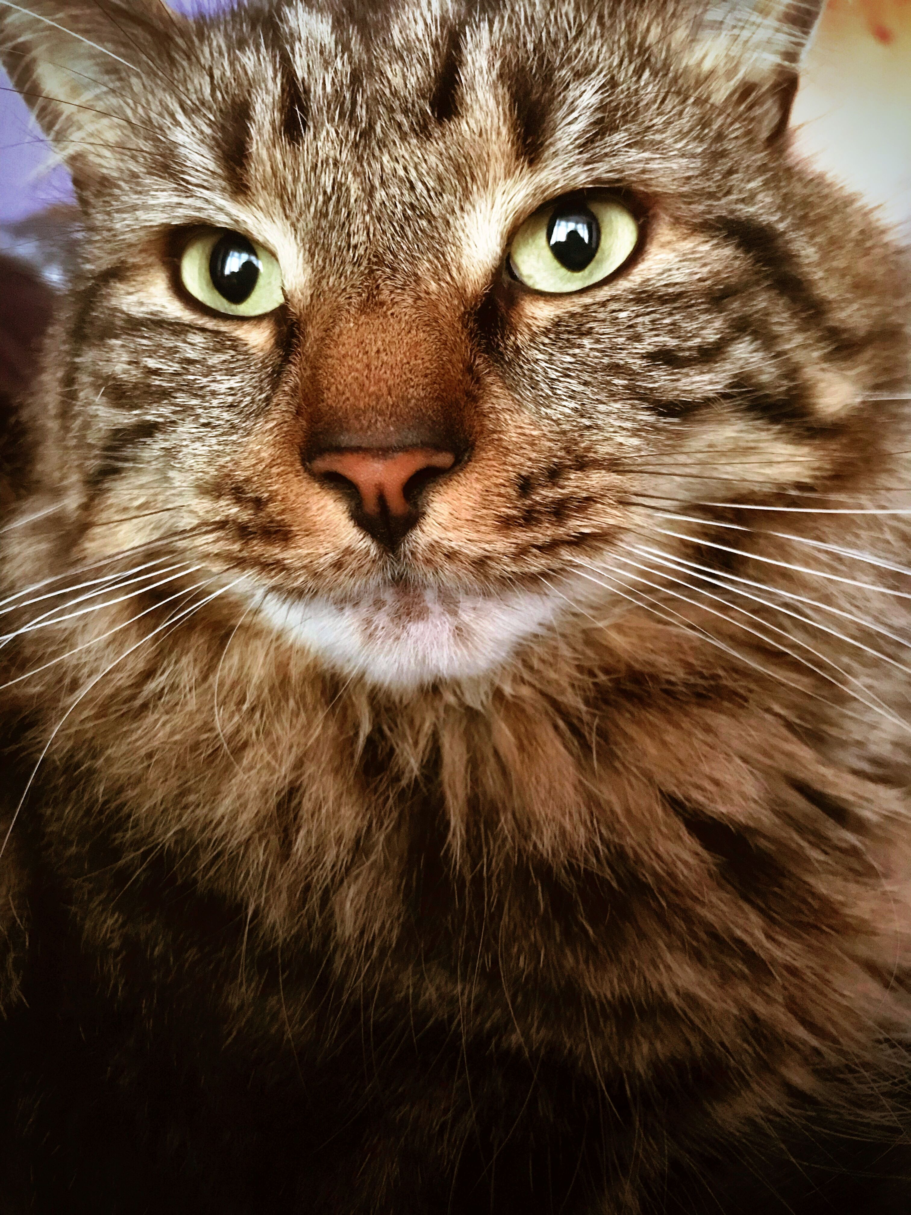 tabby. Beautiful cats pictures, Tabby cat, All