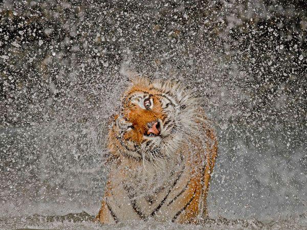 La imagen de un tigre sacudiéndose en Thailandia, por Ashley Vincent, fue la ganadora del concurso de fotografía National Geographic 2012. Recibió un premio de US$ 10 mil.