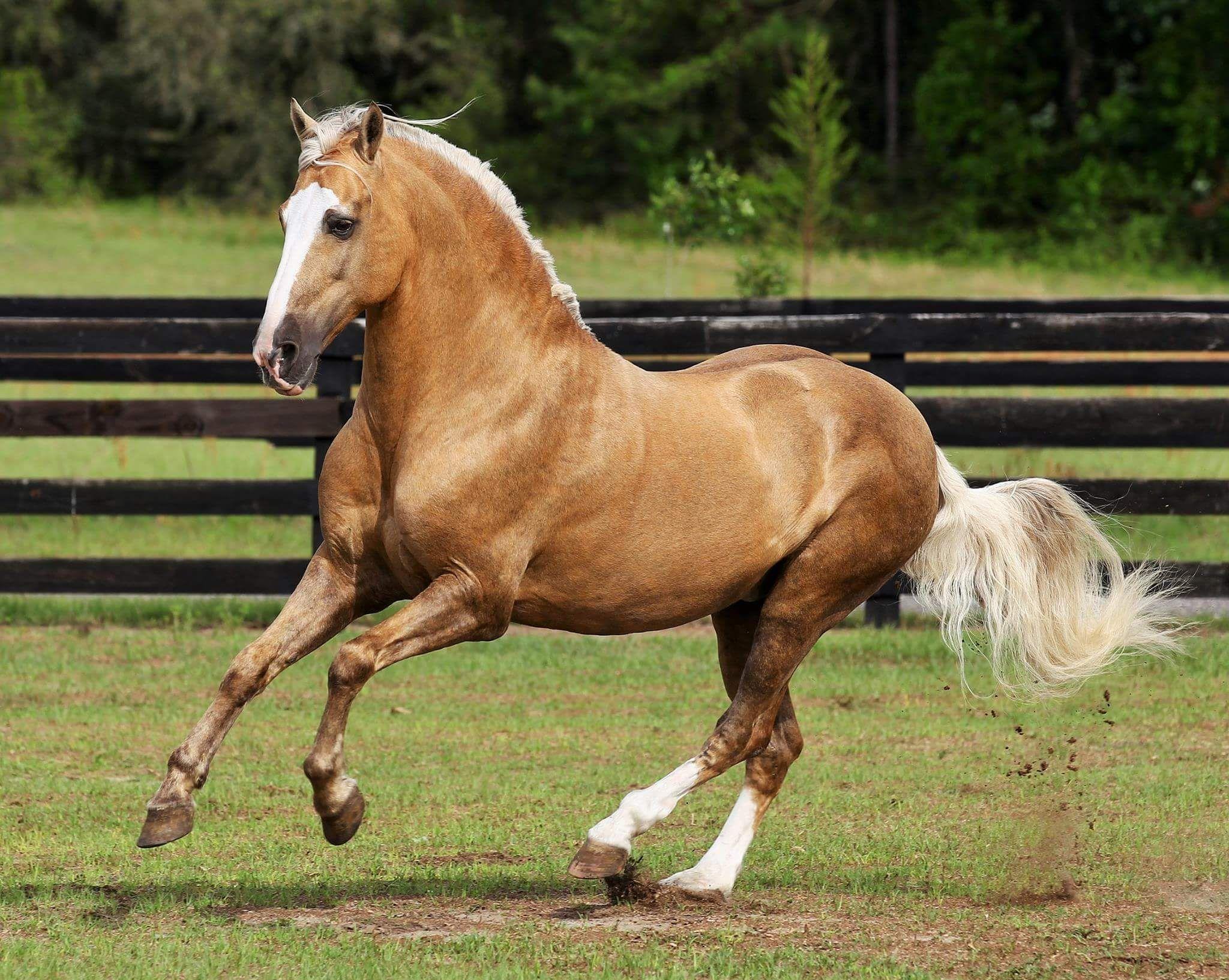 Bolero de Sierra Morena - Palomino lusitano | Beautiful Horses