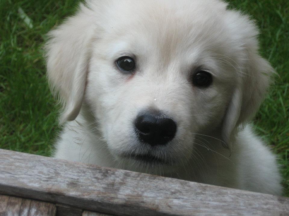 Moby Golden retriever puppy