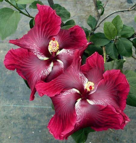 Hibiscus 'Black Dragon'