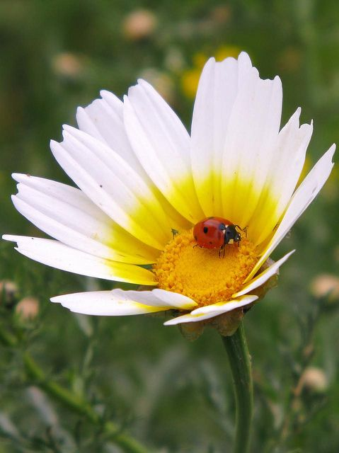 Pin By Wendy C On Love Lady Bugs Ladybug Ladybird Fauna