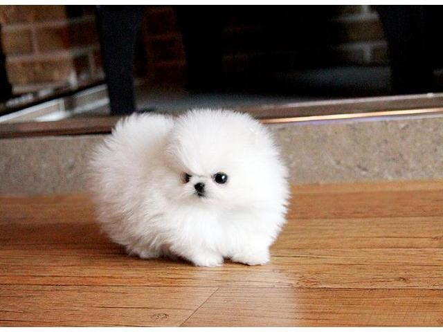 Outstanding Pomeranian Puppies Available Text 240 542 7487