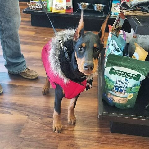 Cutecustomeralert Kiley Stopped By Pet Valu Avon Ct For A New Jacket And Lots Of Treats Pet Valu Pets Cute Dogs