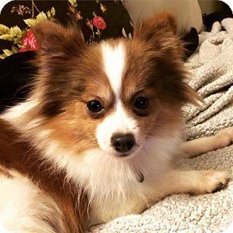 St Louis Park Mn Pomeranian Meet Vana A Dog For Adoption Http Www Adoptapet Com Pet 14437437 St Louis Park Minnesota Dog Adoption Pets Kitten Adoption