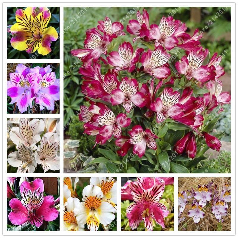 100pcs/bag Alstroemeria seeds Peruvian Lily Alstroemeria Inca Bandit - Princess lily bonsai flower seeds planta for home garden