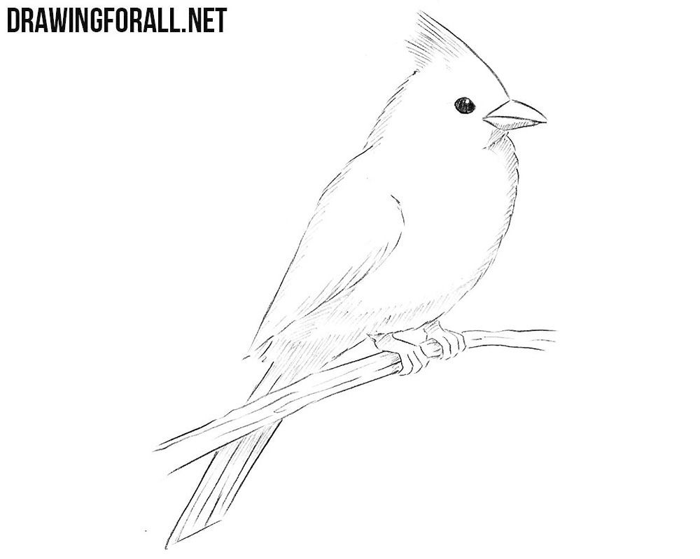 How To Draw A Northern Cardinal With Images Drawings Bird