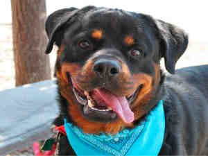 James Is An Adoptable Rottweiler Dog In Pittsburgh Pa