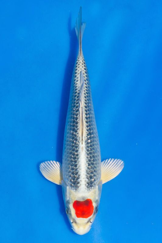 Tancho kujaku tosai 22 cm koi pinterest koi and for Carpe koi tancho